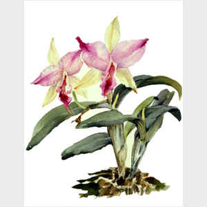 Miniature Cattleya