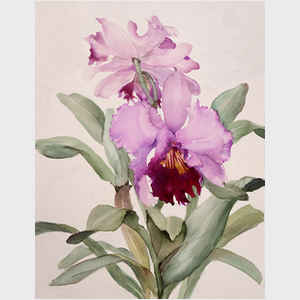 Purple Cattleya