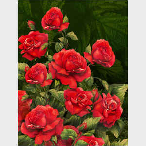 Red Roses - dark background