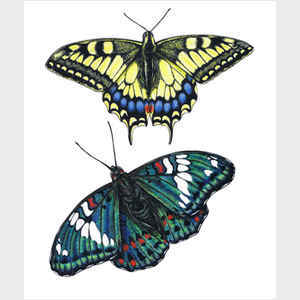 Yellow Swallowtail and Gaudy Baron Butterflies